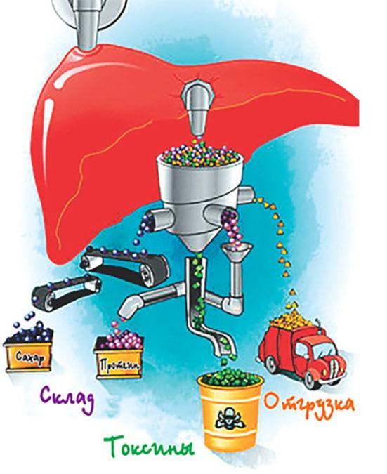 Как очистить печень от токсинов и восстановить ее травами