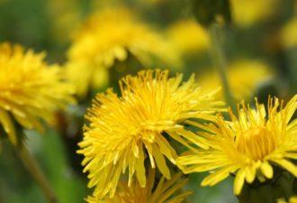 Одуванчик – полезные свойства и лечение