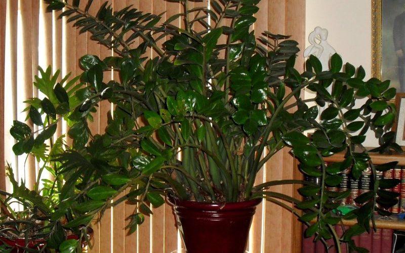 Как ухаживать за «долларовым деревом», чтобы оно зацвело и пышно росло. Советы флористов