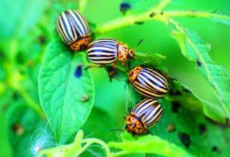 Проверенный метод, который поможет навсегда избавиться от колорадского жука.