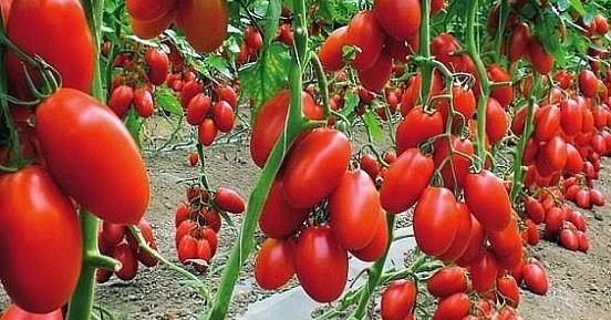 Дедовский рецепт для отменного урожая томатов