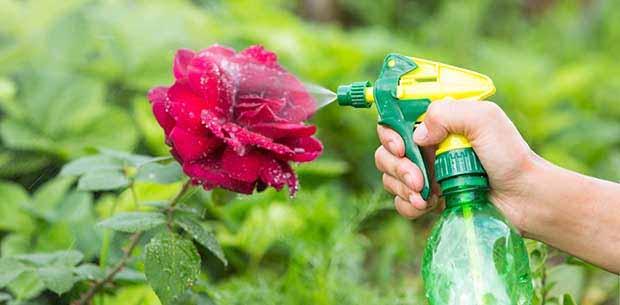 Йод и молоко прогнали тлю с моих роз! А ведь у меня уже и руки опустились…