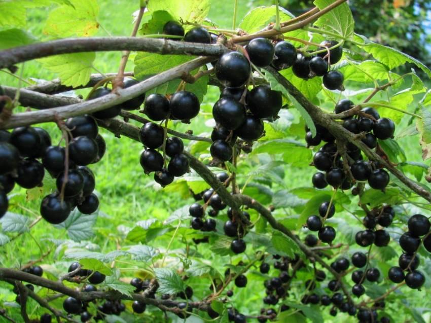 Как улучшить урожайность ягодных кустов на участке? Все очень просто!