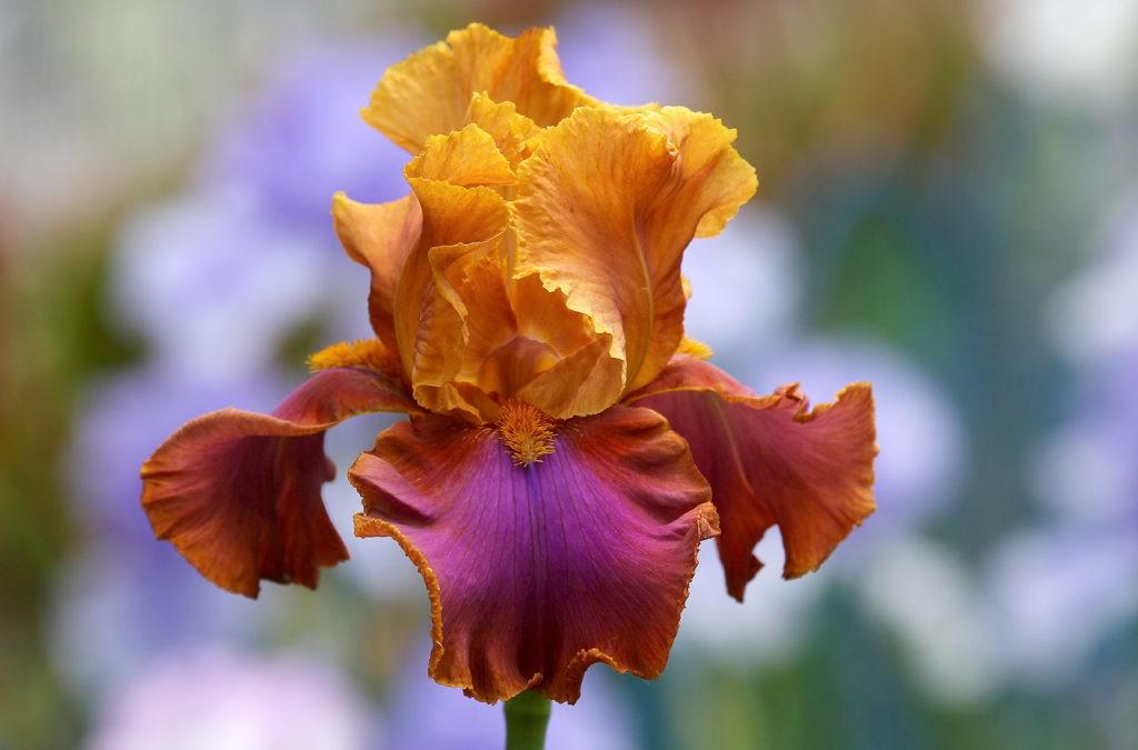 Фрезии цветы холодный фарфор картинки разбросаны хаотично