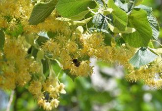 Не пропустите цветение липы. Ее цветы способны избавить организм от солей в кратчайшие сроки.