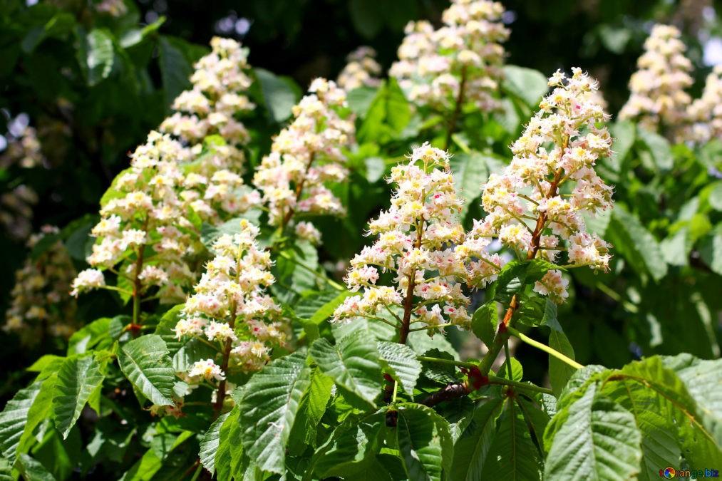Цветы каштана не только красивые, но и лечебные.