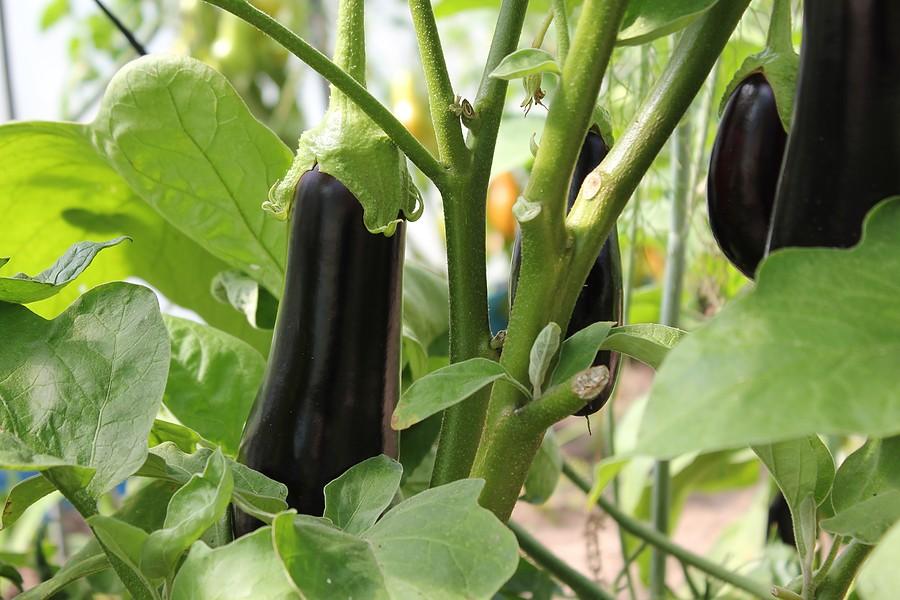 Умный огород: 18 растений, которые обожают и презирают друг друга на грядке