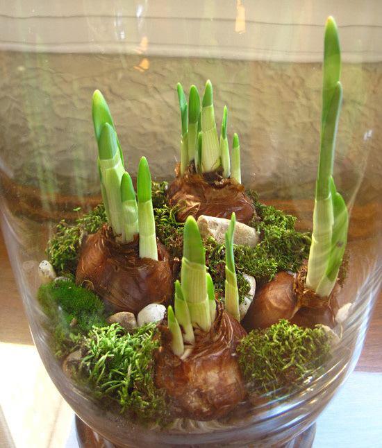 Зимой можно вырастить тюльпаны и нарциссы в вазе, в воде без почвы.