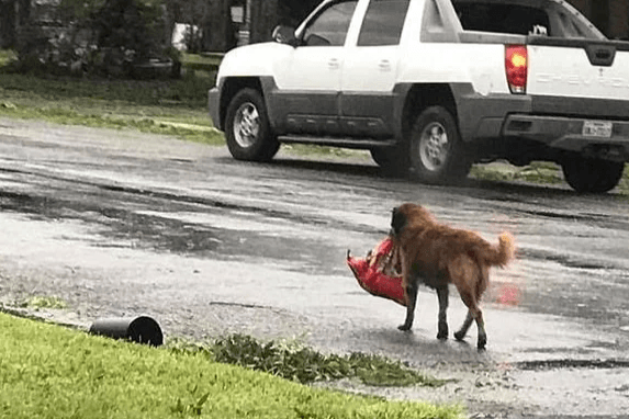 Пес тащил тяжелый сверток. Сегодня он спас маленькую жизнь.