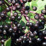 Напиток из черной бузины - эликсир здоровья, молодости и долголетия.