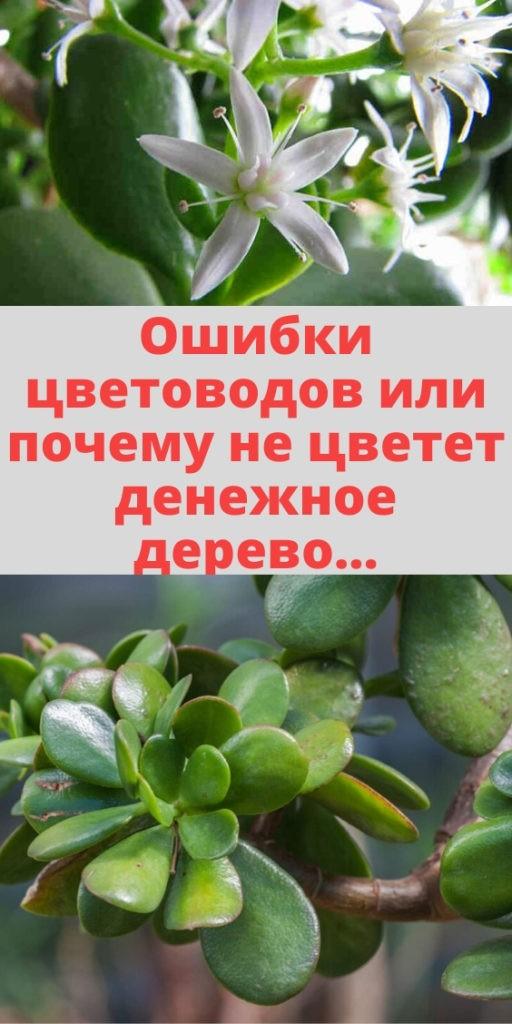 Ошибки цветоводов или почему не цветет денежное дерево...