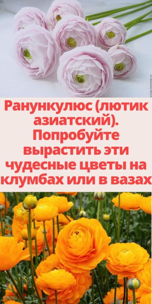 Ранункулюс (лютик азиатский). Попробуйте вырастить эти чудесные цветы на клумбах или в вазах